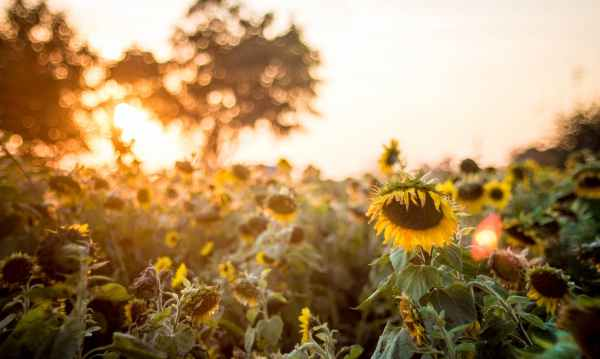 selective focus photo of sunflowers