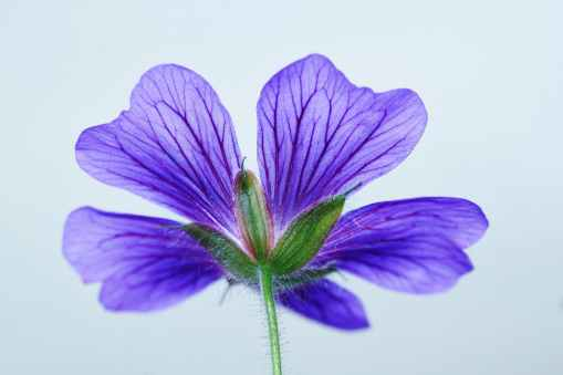 nature flowers blue purple